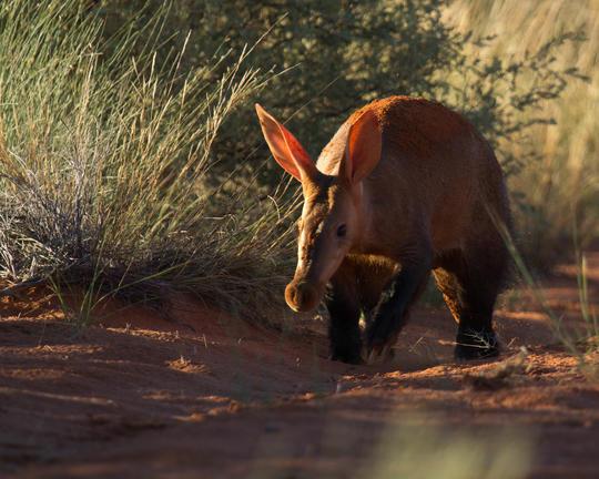 Aardvark in winter