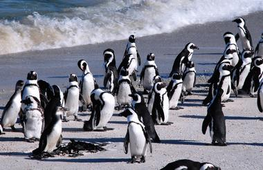 Boulders Penguins 2