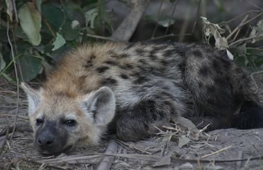 IMG_Juvenile Hyaena in the Delta Moremi Game Reserve.1