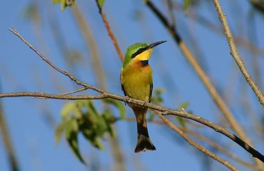 IMG_Little Bee-Eater in the Delta Moremi Game Reserve.1