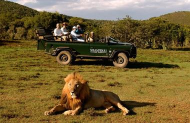 Game Drive Lion Med