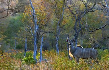 kudu51